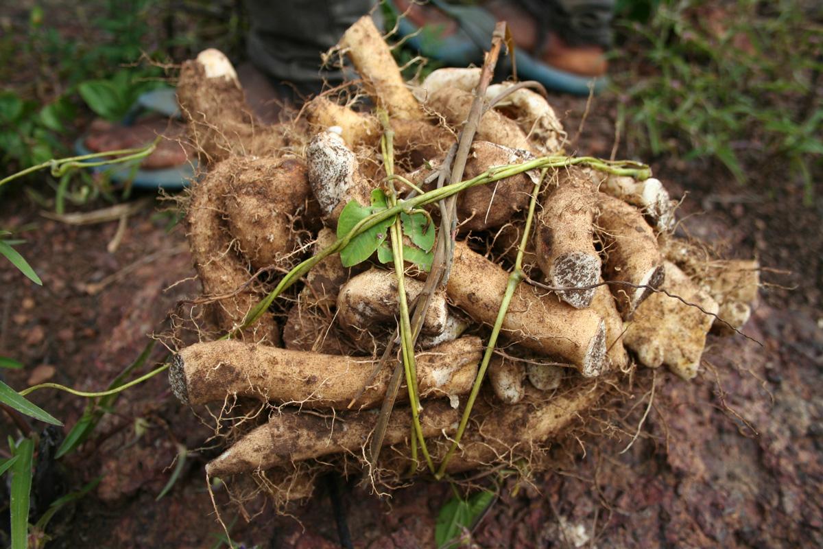 radice di dioscorea villosa