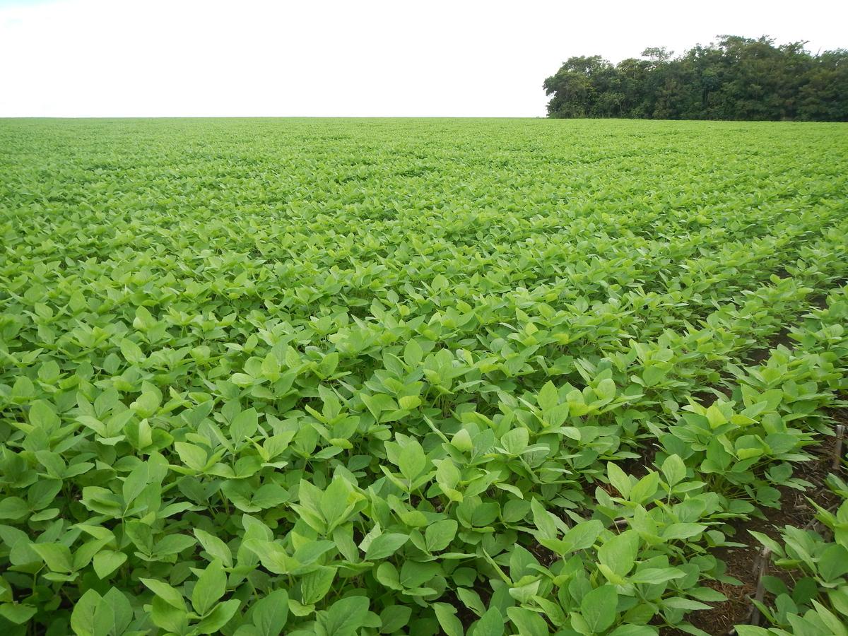 campo coltivato a soia